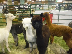 As for now, the closest I get to camelids is the annual Alpacamania