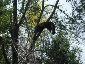 Does this red panda that I saw at the Columbus Zoo count?