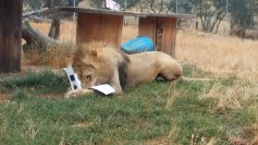 August 2017: Lion Sleepover at Wildlife Safari