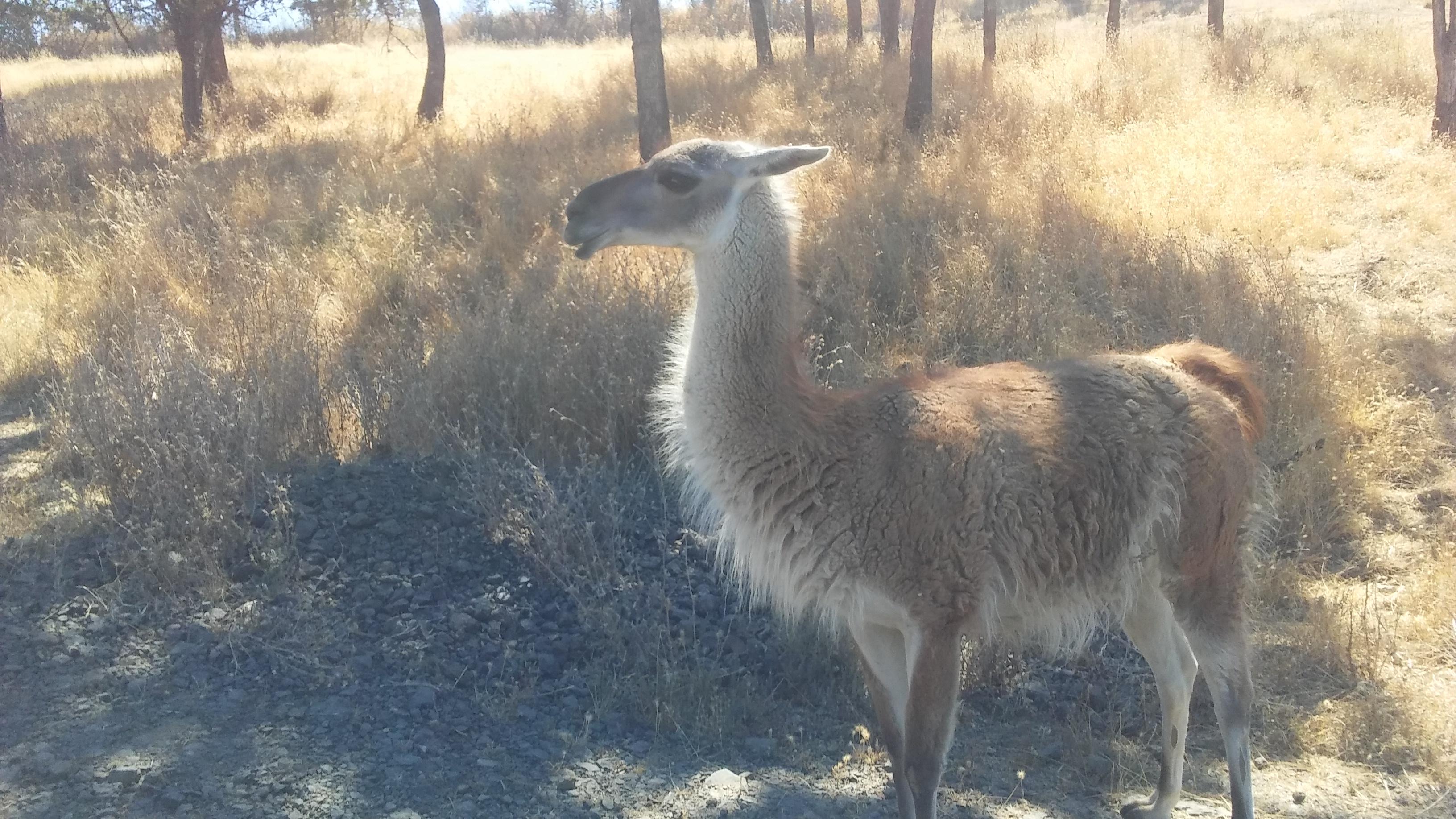 Wildlife Safari Guanaco