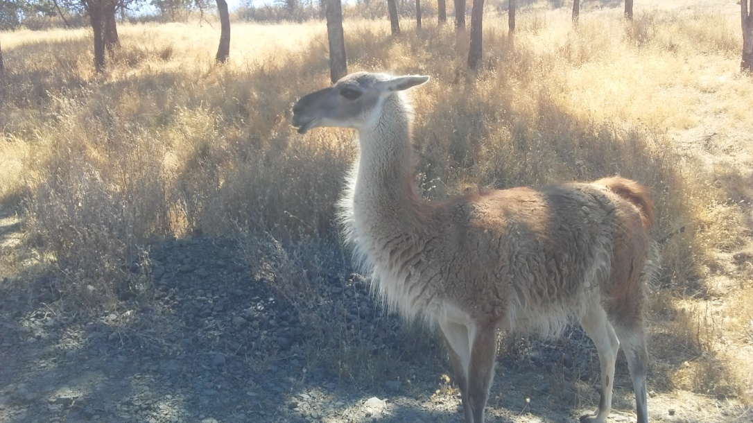 Wildlife Safari Guanaco